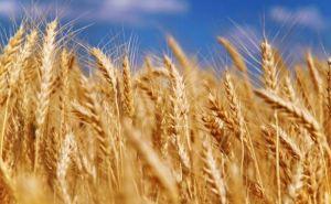 Несмотря на военные действия, в Луганской области зафиксировали рекордный урожай
