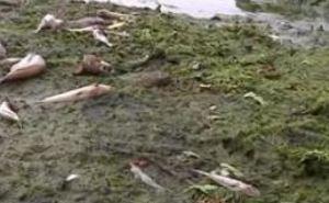 На Днепропетровщине берега Самары и Кильчени усеяны мертвой рыбой