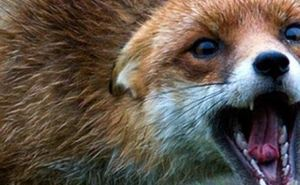 В Харьковской области бешеная лисица укусила местного жителя