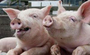 Ситуация с вирусом африканской чумы свиней полностью под контролем. —ХОГА