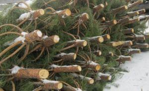 В Станице Луганской можно будет купить новогоднюю елку за 60 грн.