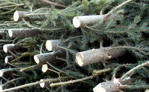 В самопровозглашенной ЛНР выявили 5 фактов незаконной торговли елками