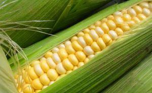 Кукуруза: выращивание и особенности культуры