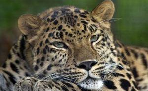 В Харьковском зоопарке после реконструкции появятся амурские леопарды