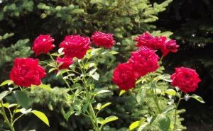 Купить кусты роз в луганске
