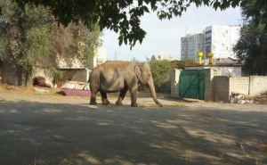Слон гуляет сам по себе в Харькове возле детского сада. Местные жители сняли ВИДЕО и ФОТО