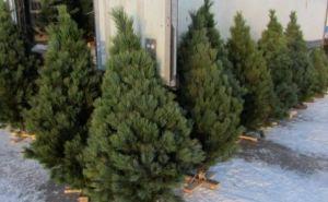 В Станице Луганской начали продавать новогодние елки. Адреса где можно купить