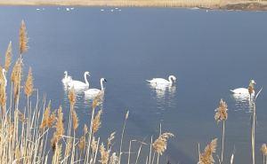 15 белых лебедей уже вернулись на озеро Вейсовое