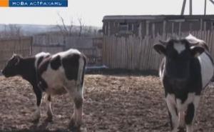 На Луганщине фермеры угрожают забить поголовье скота из-за отсутствия сбыта. ВИДЕО