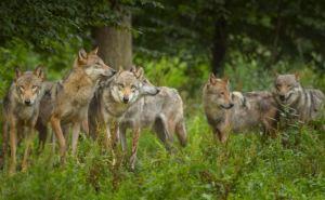 В Камброде на окраине Луганска заметили стаю из 7 волков. Ждем медведей...