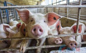 Инвестор планирует строить под Луганском свинокомплекс на 1200 голов свиноматок