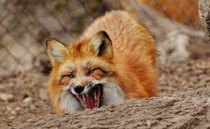 Бешенная лиса атаковала в Антрацитовском районе