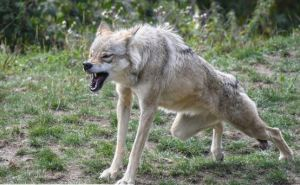 В районе города Шахтёрска бешенный волк напал на двух человек