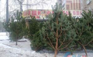 В Луганске начали работать елочные базары. Где какие елки и какая цена. ФОТО