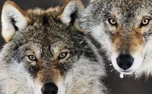 Под Донецком местным жителям угрожает агрессивная пара диких волков