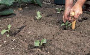 Что будет, если завтра в день Троицы посадить на огороде брокколи?
