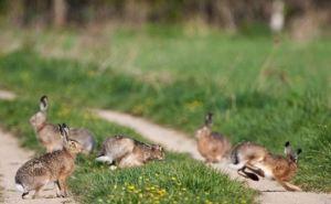 В Кременной поймали браконьера с семью зайцами