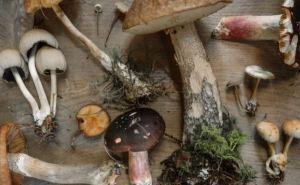 Как приготовить дикорастущие грибы, чтобы не оказаться в реанимации