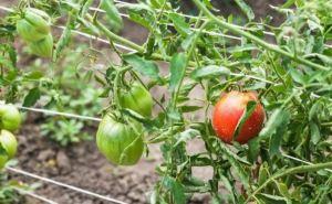 Как спасти урожай помидоров. Что надо сделать после 20июля