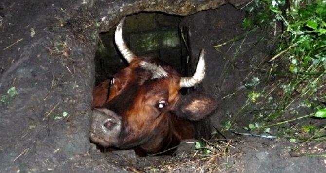 На Луганщине из колодца достали беременную корову (фото)