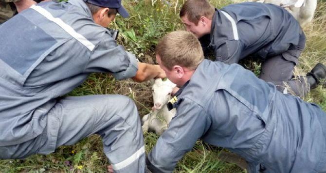 На Луганщине спасатели вытащили из ямы козленка (фото)