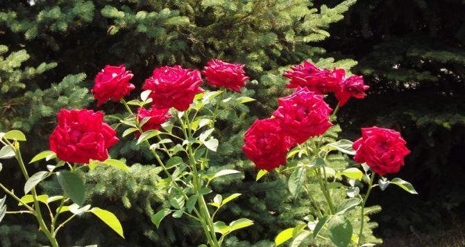 В Луганске высадили около 7 тысяч роз (видео)
