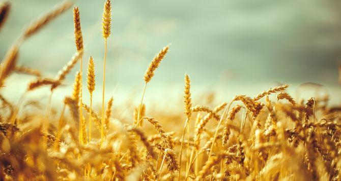 Аграрии самопровозглашенной ЛНР намолотили 97 тысяч тонн пшеницы