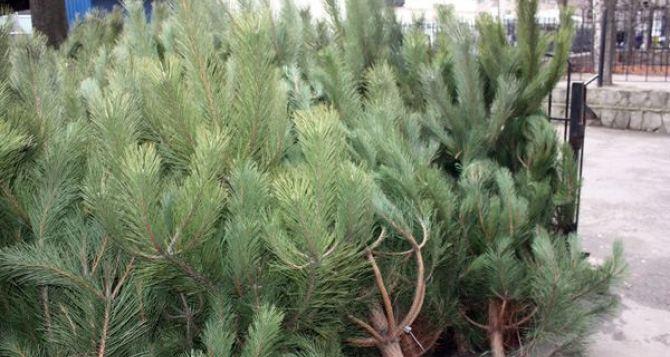 Уже известно, сколько будут стоить в этом году елки в Харькове
