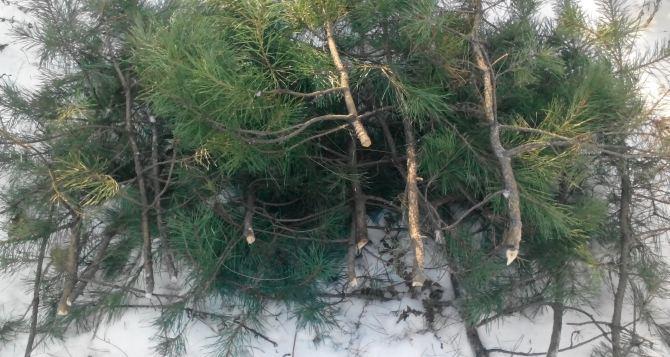 В Ровеньках задержали местных жителей на вырубке елок (фото)