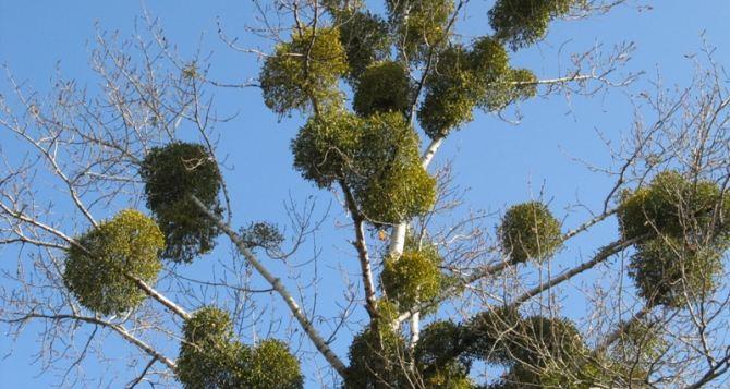 Харьковские деревья спасают от омелы