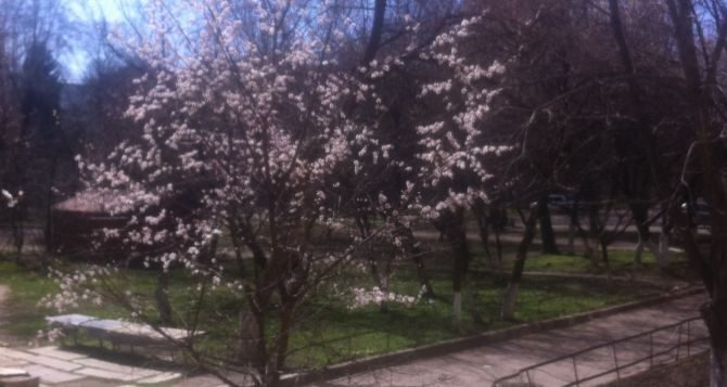 В Луганске зацвели абрикосы  (фото)