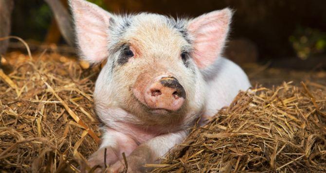 В 2-х областях зафиксировали вспышку африканской чумы свиней