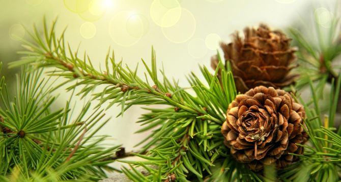 В самопровозглашенной ЛНР поступят в продажу 15 тыс. новогодних елок