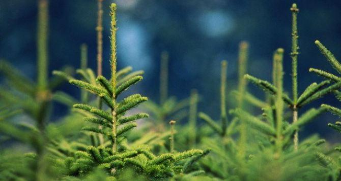 В Луганске начнут продавать новогодние елки с 15декабря