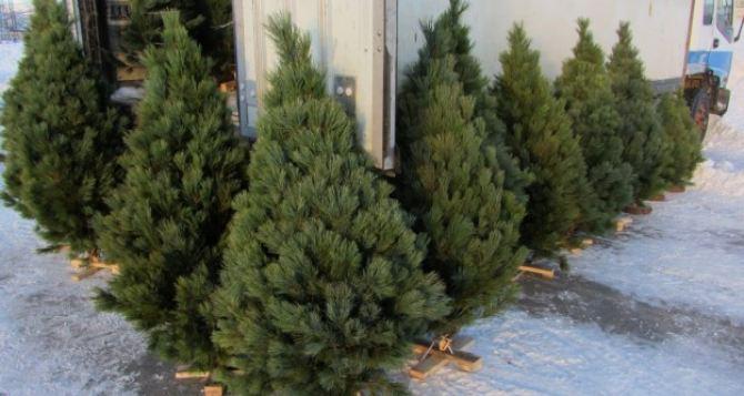 В Луганской области начали продавать новогодние елки