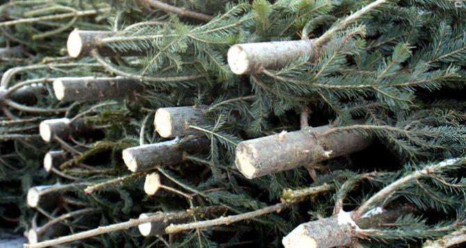 В самопровозглашенной ЛНР на выходных выявили 3 факта незаконной вырубки елок