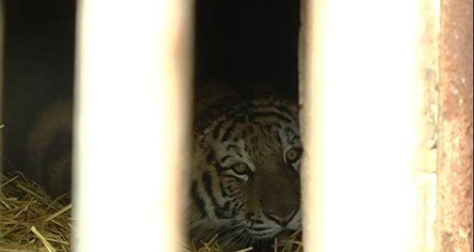 В Харьковский зоопарк привезли амурского тигра (видео)