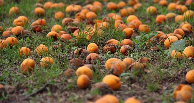 Жителей Луганска просят убирать придомовые территории от опавших плодов