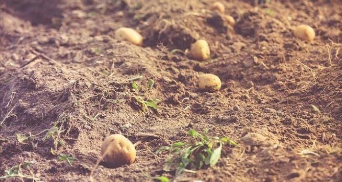 Картофельный неурожай предрекают эксперты на Востоке Украины