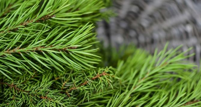 Во сколько обойдётся новогодняя елка на Луганщине