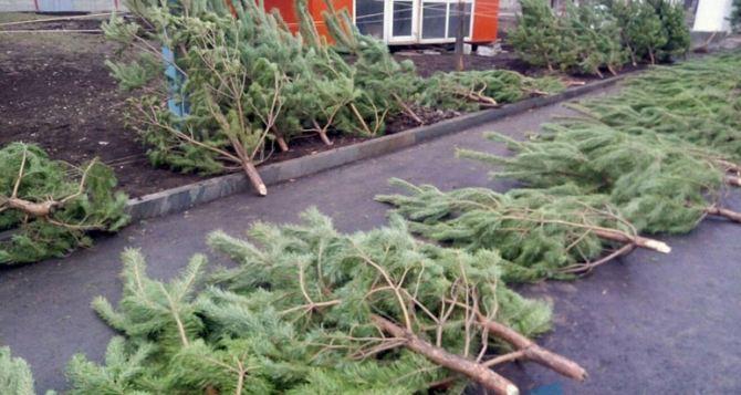 В Луганске рассказали сколько стоит елка на базаре, и сколько штраф за незаконную рубку