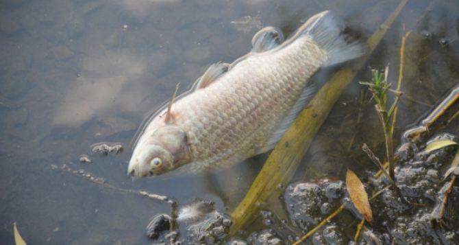 На Луганщине зафиксирована массовая гибель рыбы более чем на 6 млн грн