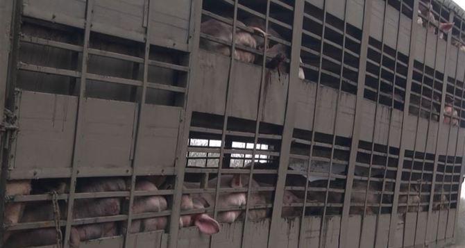 В Харьковской области перевернулась фура со свиньями, которая до этого почти на сутки застряла под Сватово. ВИДЕО