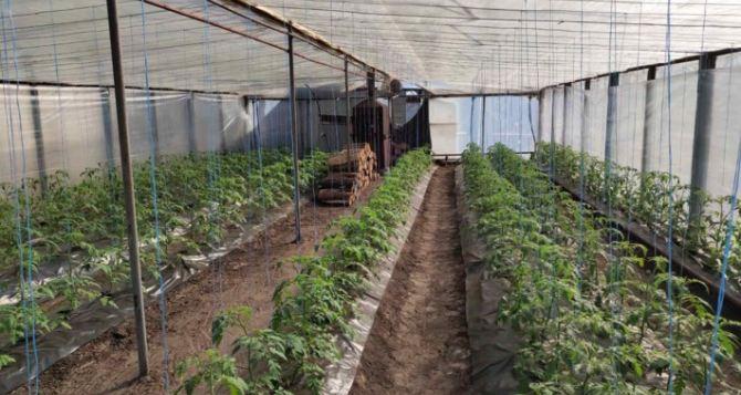 В Станице Луганской  нидерландские шмели будут опылять помидоры