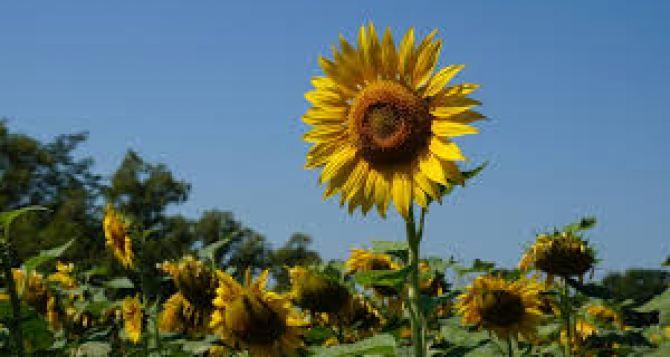 Высадка семян подсолнечника: некоторые особенности и приемы