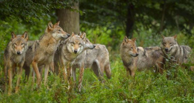 Волк утащил двухлетнюю девочку со двора дома в селе в Славяносербском районе и загрыз