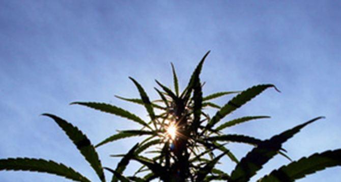 У луганчанина нашли во дворе дома двухметровый куст конопли и тайник с килограммом наркотиков