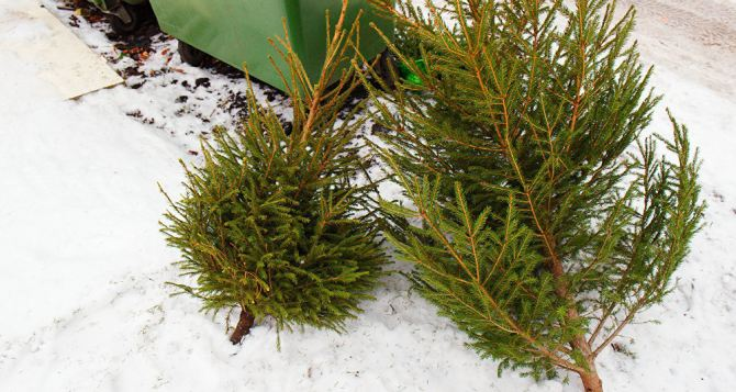 Куда выбросить новогоднюю елку