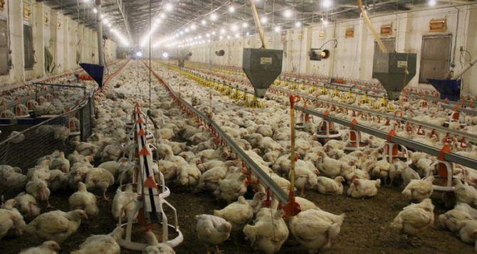Чернухинская птицефабрика в январе произвела 676 тонн мясной продукции