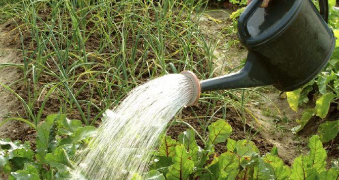 Правила июльского полива огорода. Для каждого овоща индивидуальные